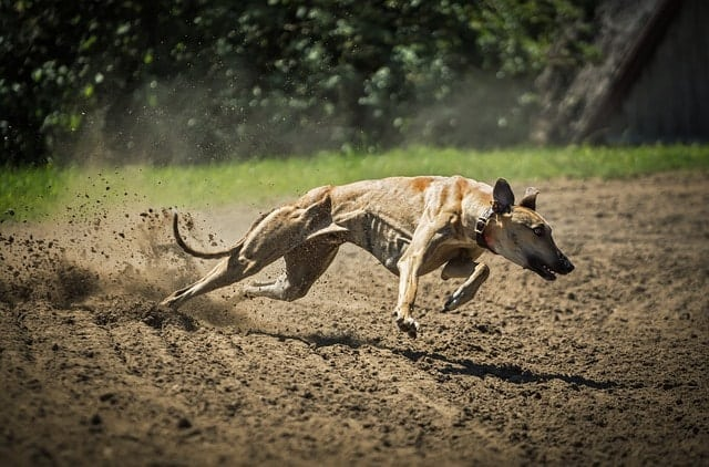 Though Greyhounds aren't big barkers, they need a lot of physical exercise - they're not great for all apartment dwellers.