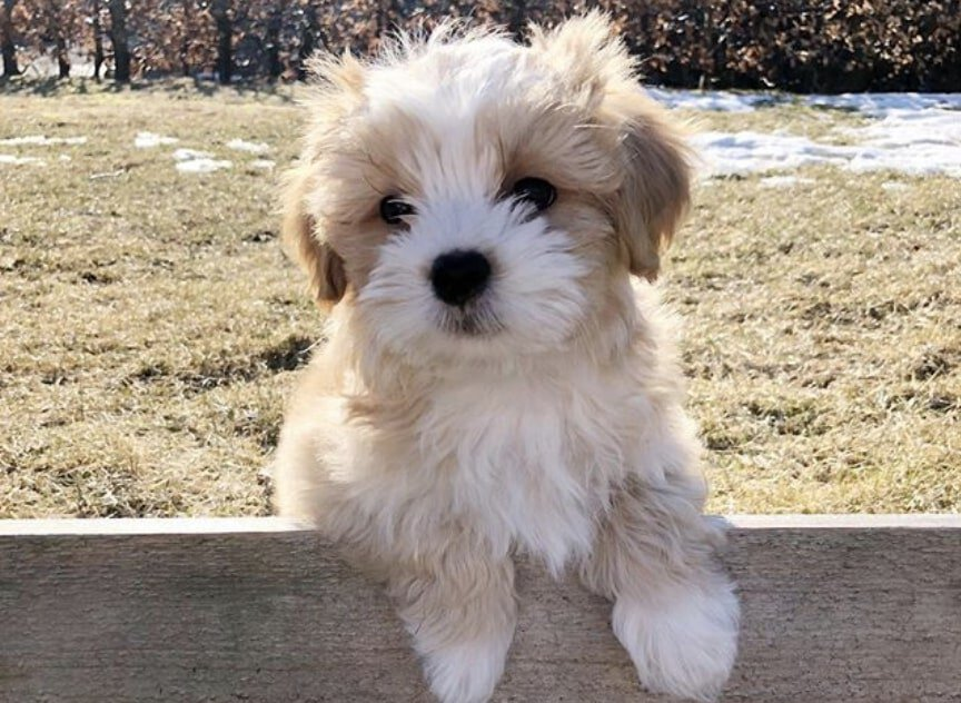 The Havashu is the amazing combination of the Havanese and Shih Tzu breed.