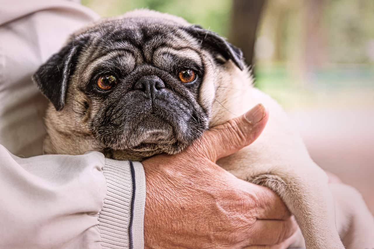 Do pugs shed a lot? If so, how much do they shed?