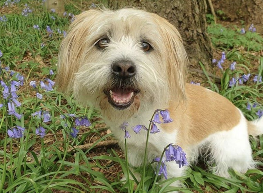 The JackTzu is a small designer dog bred from a Jack Russell Terrier and Shih Tzu.