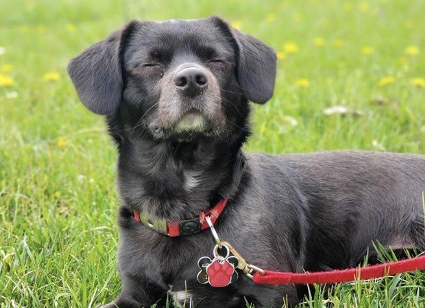 The Labrahuahua is a Labrador Retriever and Chihuahua Mix.