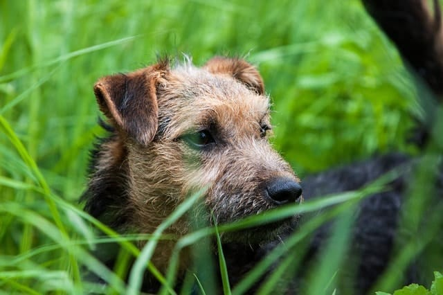 The Lakeland Terrier is a great apartment dog because they're relatively quiet by nature.