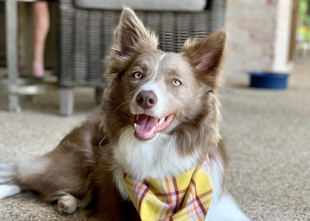 11 Stunning Border Collie Colors Coat Markings Pictures