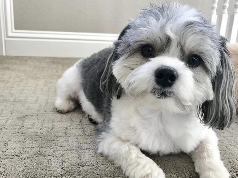 The Malshi is a cross between a Shih Tzu and Maltese.