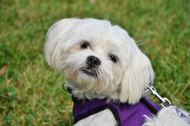 The Maltese is one of the best and most popular apartment dogs because they're small and limited with the barking.