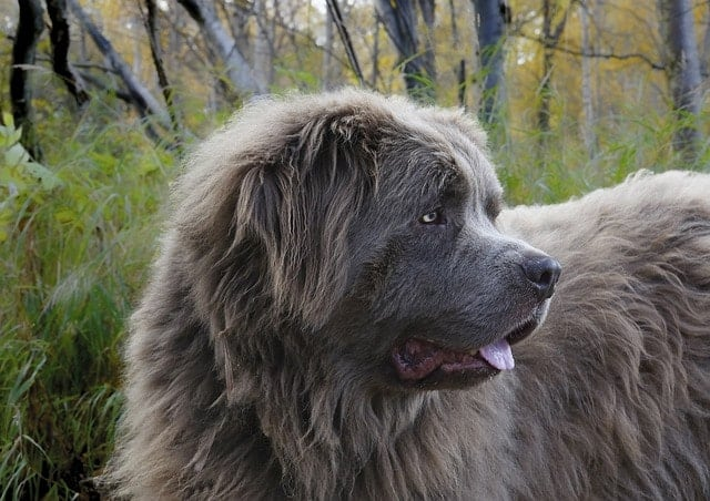 Fluffy and big are two words that perfectly describe the Newfoundland dog.