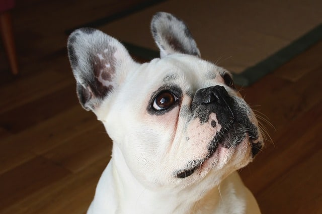 Pied French Bulldogs are also very popular coat colors for the breed.