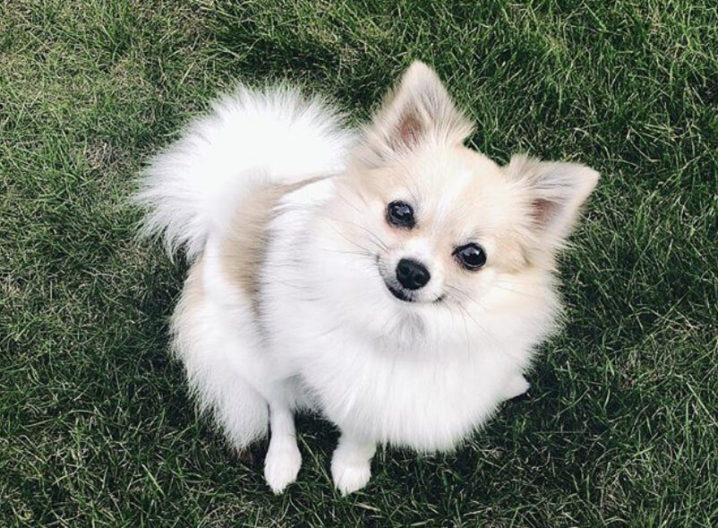 The Pomchi is a hybrid of the Pomeranian and Chihuahua.