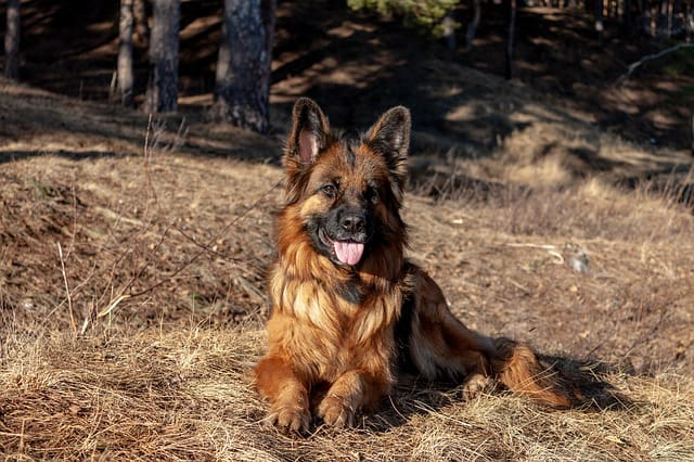 Without meeting the basic needs of German Shepherds, they can cause a lot of problems while living in apartments.