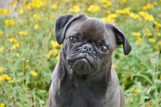 Pugs are not hypoallergenic dogs. Rather, they shed a lot and are considered the opposite.