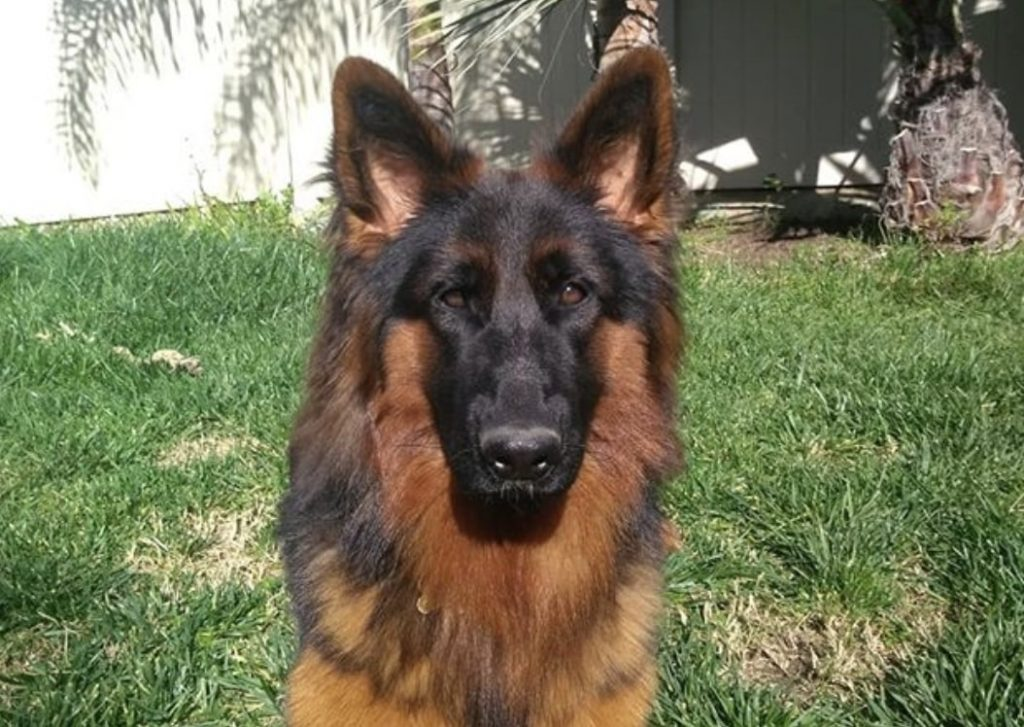 The red and black German Shepherd is unique for it's deep mahogany color.