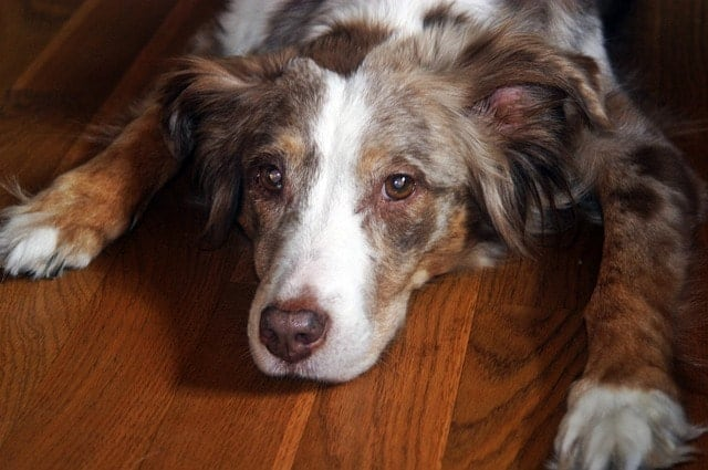 Red Merle Australian Shepherds tend to have amber colored eyes.