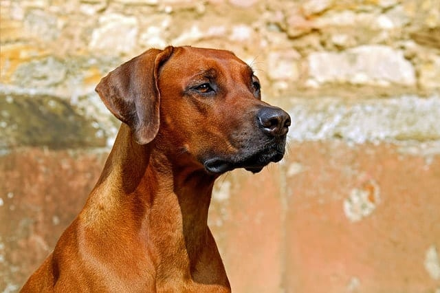 Rhodesian Ridgebacks are large dog breeds with power and strength, but given their size, they don't really bark that much - making them great large apartment dogs.