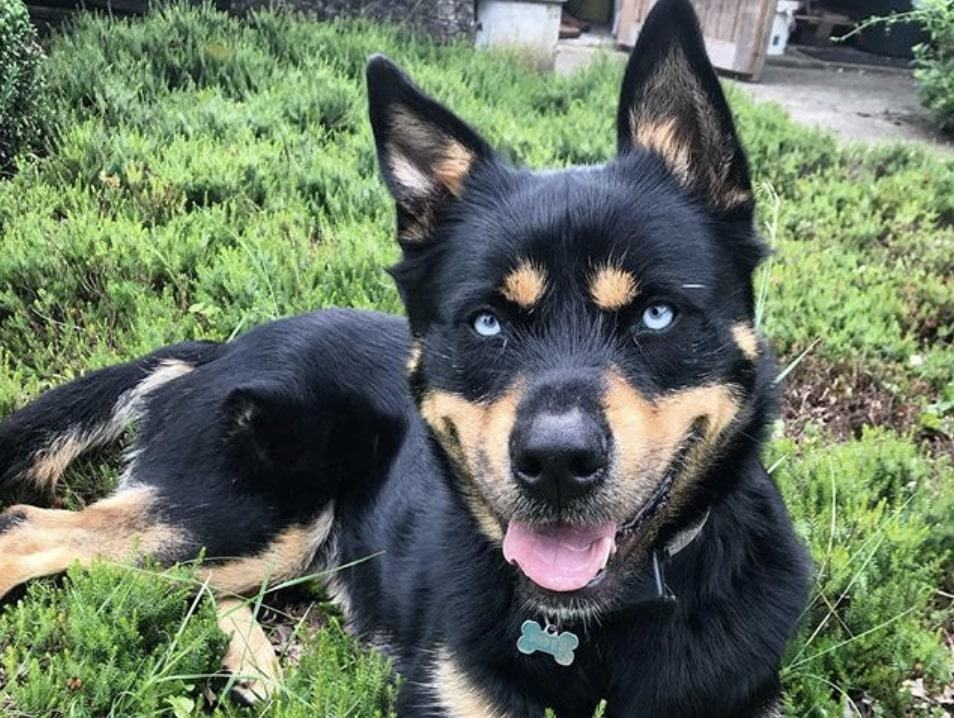 The Rottsky is a combination of the Siberian Husky and Rottweiler.