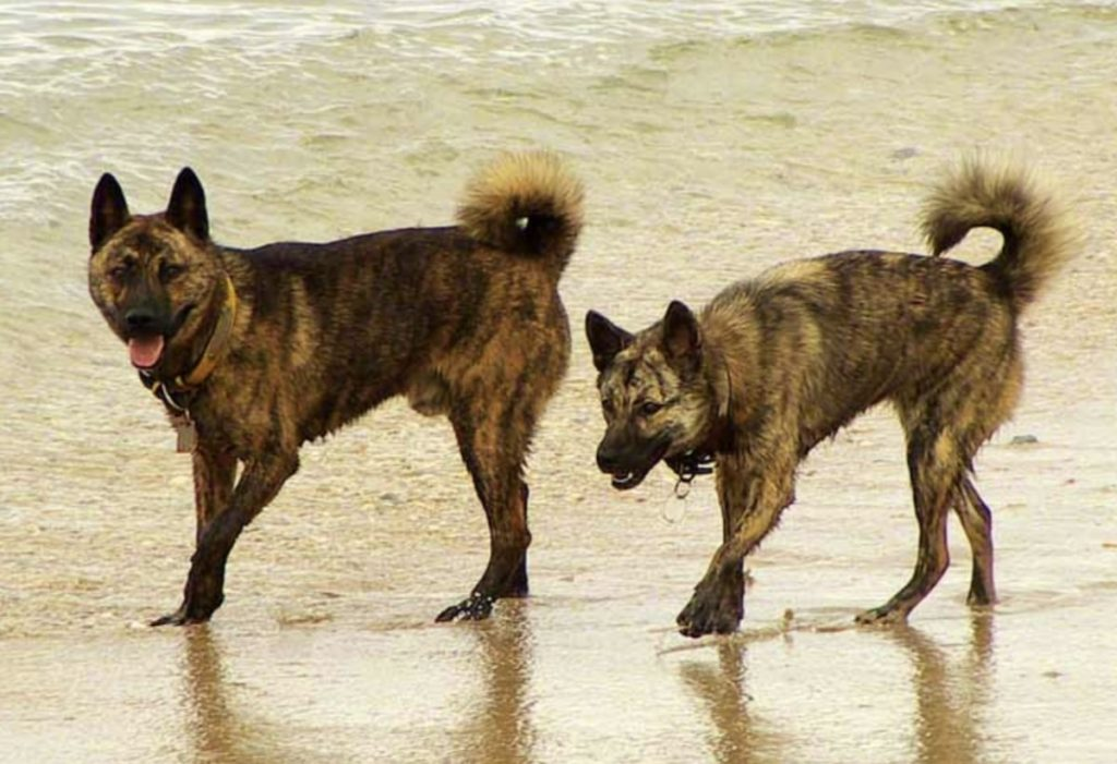 Though the Ryukyu Inu looks like the Kai Ken, they are very different Japanese dog breeds.