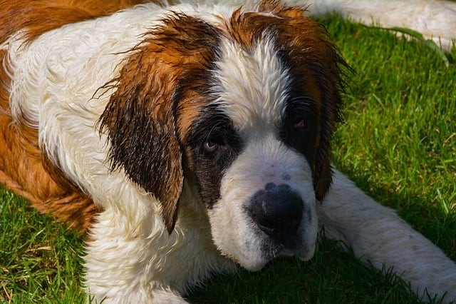 The Saint Bernard is the classic large non-barking dog breed - perfect for apartment living.