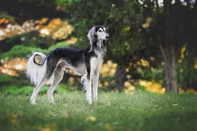 Saluki are classic hounds that run fast, but don't bark much. They can be ideal for apartments with the right needs.