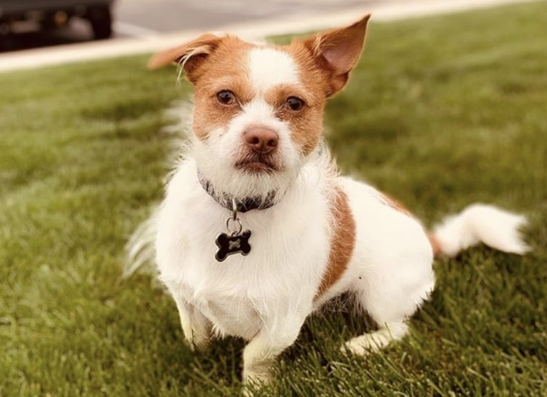 The Shichi is a combination of the Shih Tzu and Chihuahua.