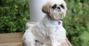 The Shih Tzu is the most popular Chinese dog, and as a result, there are amazing Shih Tzu mixes.