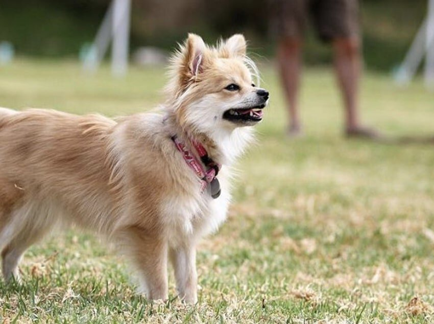 The Shiranian is the result of crossbreeding a Pomeranian with a Shih Tzu.