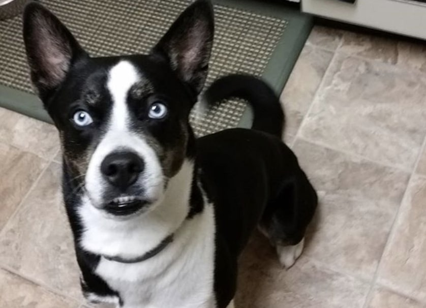 You'll get a Siberian Boston when you mix the Siberian Husky with the Boston Terrier.
