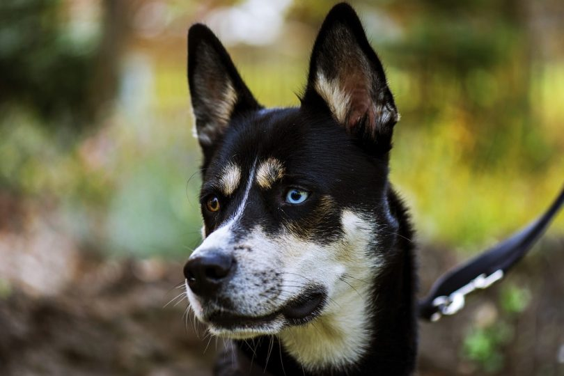Here are the most beautiful and elegant Husky mixes in the world.