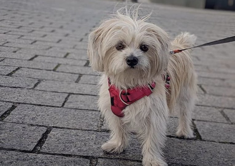 The Silky Tzu is a Silky Terrier and Shih Tzu hybrid dog.