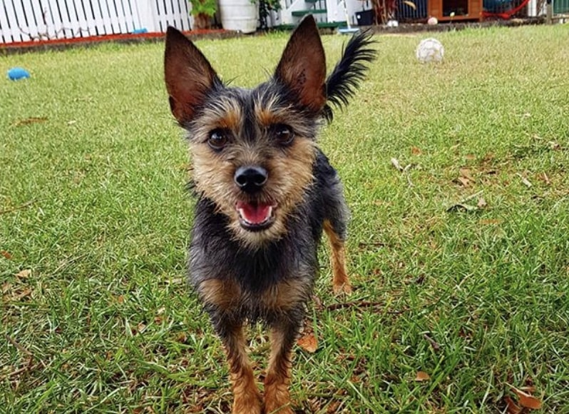 The Silkyhuahua or Silkychi is a mix of the Silky Terrier and Chihuahua.