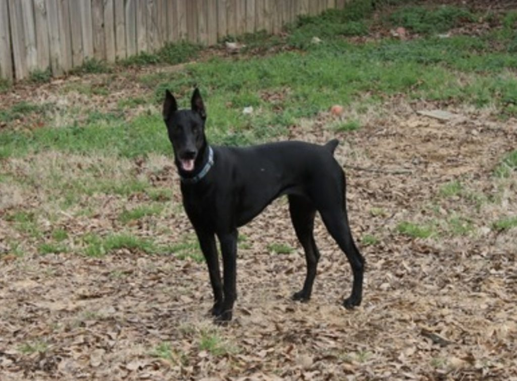 Solid black Dobermans are extremely rare and unethical to breed.
