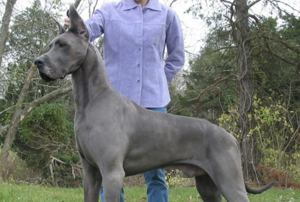 Solid Blue Dobermanns are not ethical and should not be bred.