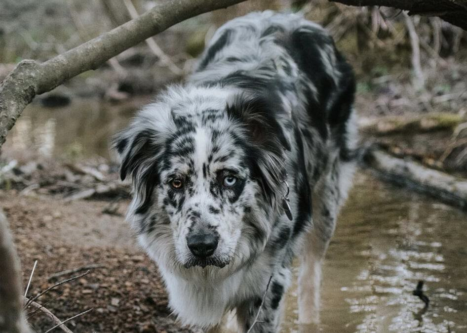 The solid blue merle Australian Shepherd has no other color markings on their coat.