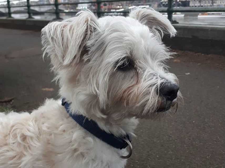 The Weshi is a hybrid of the West Highland White Terrier and Shih Tzu.