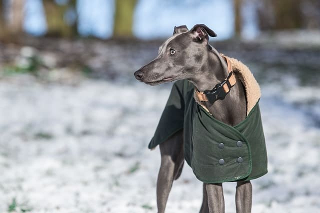 The Whippet is a quick dog breed, but they rare have the urge to bark.