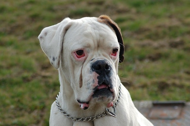 Though not an official standard color, the white Boxers are still fairly common in the US.
