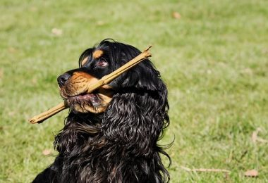 Let's examine if Cocker Spaniels are smart dogs, and what makes them intelligent.