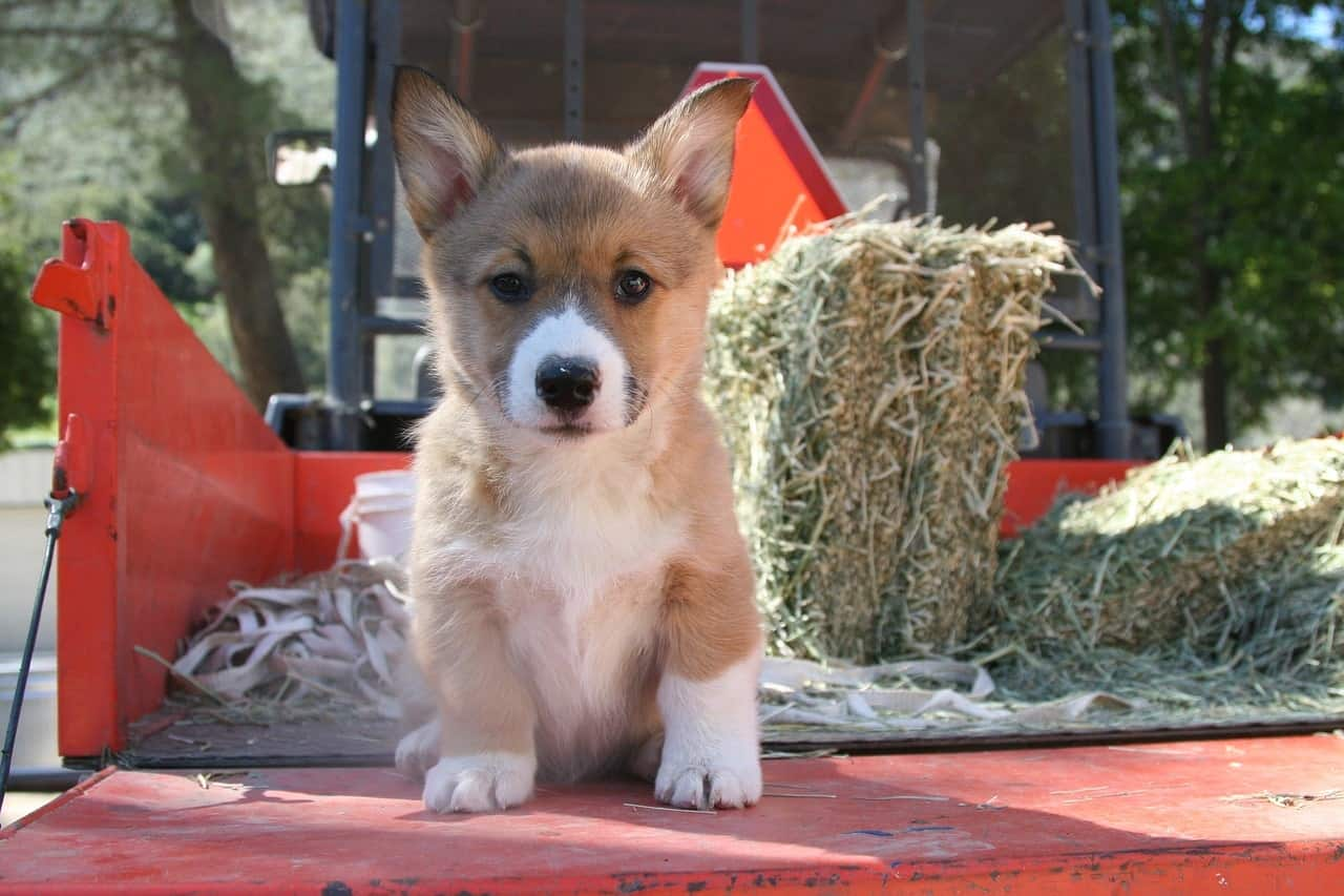 Depending on the variation of Corgi, they are some of the smartest dogs.