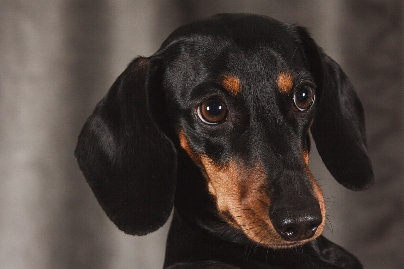 Dachshunds are smart, but not according to Stanley Coren's obedience working intelligence rankings.