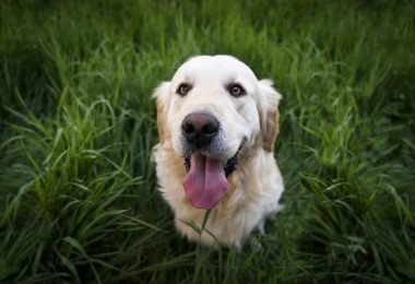 We know Golden Retrievers are intelligent dogs, but how smart are they actually?