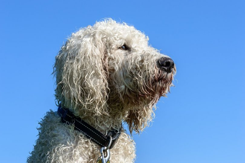 Having two smart dog parents, the Goldendoodle is one of the smartest mixed dog breeds in the world.