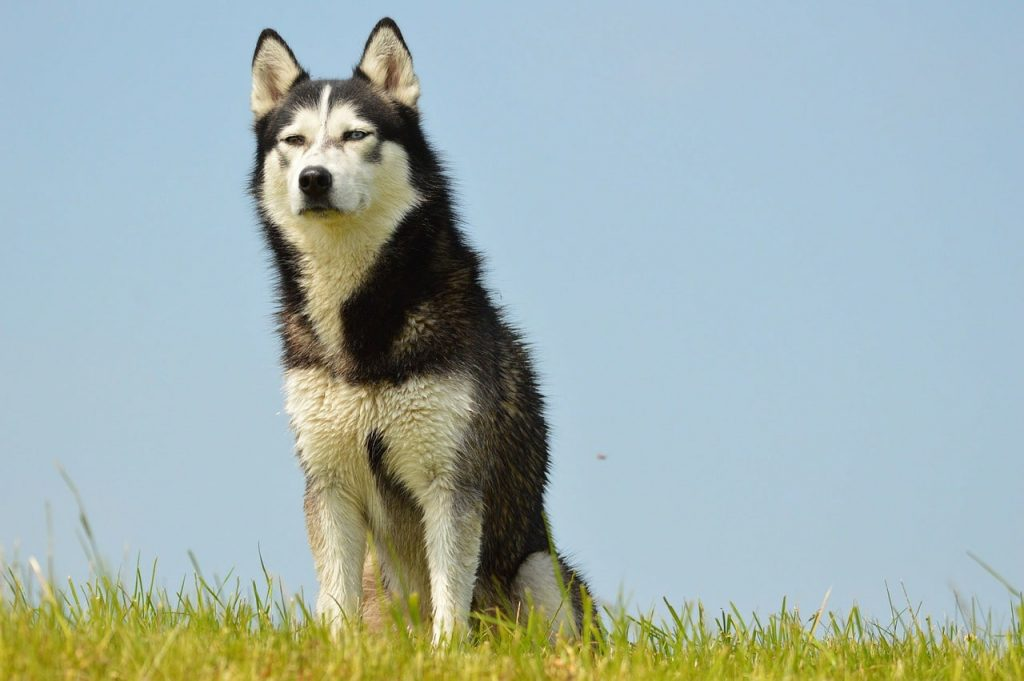Siberian Huskies are smart in ways other than just obedience and training.