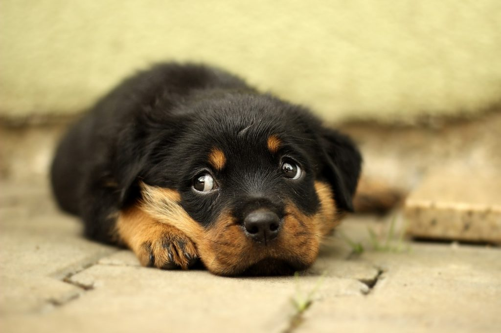 Rottweilers are smart dogs. In fact, they're the 10th most intelligent dog breed.