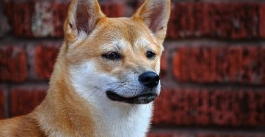 Despite their rankings on Stanley Coren's intelligence test, Shiba Inus are actually highly intelligent dogs.