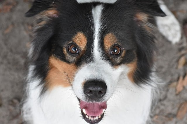 It doesn't really matter is your Australian Shepherd is considered smart or not.