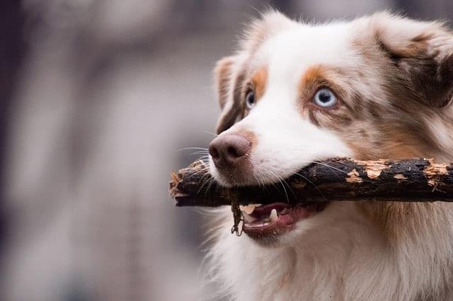 Australian Shepherd owners answer the age-old question: are Australian Shepherds intelligent dogs?