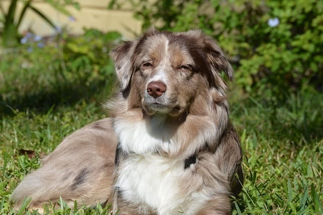 Here are the best tips for managing your Australian Shepherd's shedding.