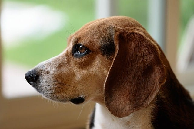 Beagles have long ears, like with most hounds.
