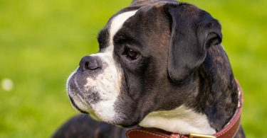 Providing a dog crate for your Boxer is one of the best decisions you can make.