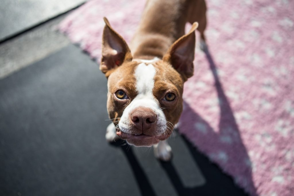 So do Boston Terriers like to bark? You'll be surprised.