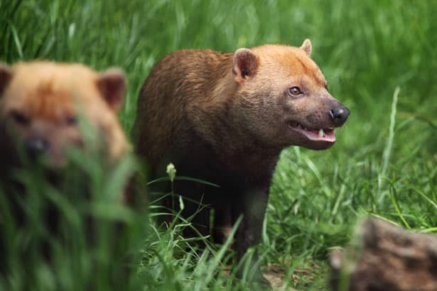 Among all dog breeds, the Bush Dog probably looks the most like a bear.