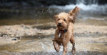 Can Poodles Swim? We explore how good of a swimmer these dogs really are.
